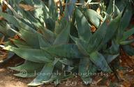 Aloe sp.