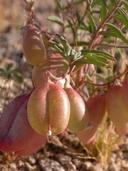 Astragalus allochrous var. playanus