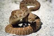 Red Diamondback Rattlsnake