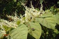 Fallopia japonica