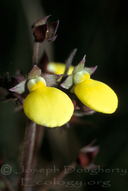 Calceolaria sp.