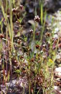 Trifolium oliganthum