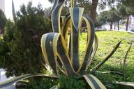 Agave americana ssp. americana
