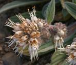 Phacelia hastata ssp. hastata