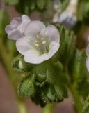 Phacelia anelsonii