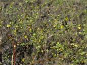 Hesperolinon adenophyllum