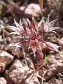 Allium nevadense