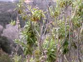 Salvia mellifera