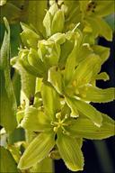 Veratrum album ssp. lobelianum