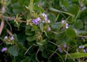 Sherardia arvensis