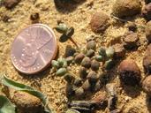Dudleya blochmaniae ssp. brevifolia