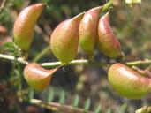 Astragalus deanei