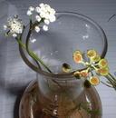 Teesdalia coronopifolia