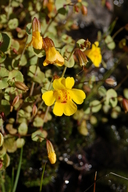 Shield-bracted Monkey Flower