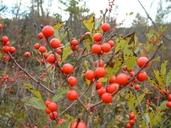 Ilex verticillata (L.) Gray houx verticillé [Common winterberry]