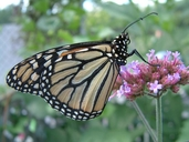 Danaus plexippus (L.) (Monarque) [Monarch Butterfly]