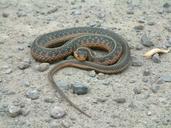 Thamnophis sirtalis (Linnaeus, 1758) couleuvre rayée [Common garter snake]