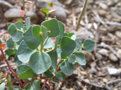 Euphorbia brachycera