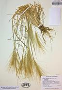 Elymus elymoides var. elymoides