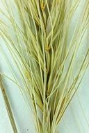 Elymus elymoides ssp. elymoides