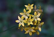 Triteleia ixioides ssp. ixioides