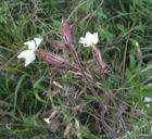 Silene latifolia