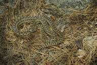 Pacific Gophersnake