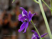 Delphinium patens