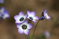 Gilia tricolor