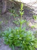 Frasera umpquaensis