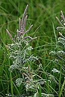 Amorpha canescens