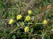 Lomatium caruifolium var. denticulatum