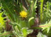 Centaurea benedicta