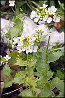 Arabis alpina ssp. crispata (willd)