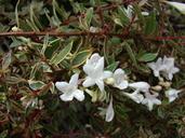 Abelia Xgrandiflora