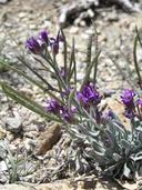 Boechera hirshbergiae