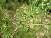 Galium californicum ssp. primum