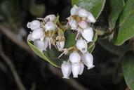 Arctostaphylos tomentosa ssp. crustacea