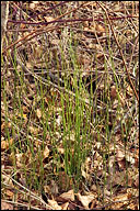 Equisetum variegatum