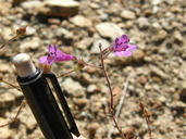 Penstemon filiformis