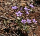 Gilia ochroleuca ssp. bizonata
