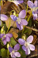 Viola canina ssp. canina