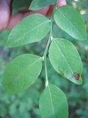 Vaccinium parvifolium