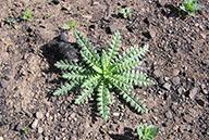 Emmenanthe penduliflora
