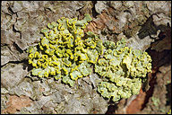 Powdered Sunshine Lichen