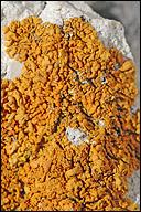 Xanthoria calcicola