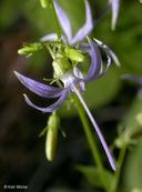 Campanula prenanthoides