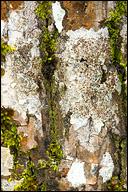 Lecanora argentata