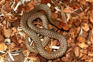 Red Backed Snake