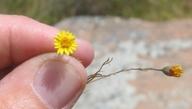 Pentachaeta aurea ssp. aurea